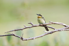 Chestnut-headed bee-eater in Pottuvil, Sri Lanka Royalty Free Stock Photography