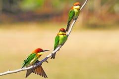 Chestnut-headed Bee-eater Stock Images