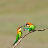 Chestnut-headed Bee-eaters Stock Images