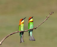 Chestnut-headed Bee-eaters Stock Photography