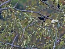 Chestnut-headed Oropendola, Psarocolius wagleri, weaves on trees oval nest, Salvador. The Chestnut-headed Oropendola, Psarocolius wagleri, weaves on trees oval stock photography