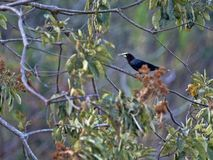 Chestnut-headed Oropendola, Psarocolius wagleri, weaves on trees oval nest, Salvador. The Chestnut-headed Oropendola, Psarocolius wagleri, weaves on trees oval royalty free stock images