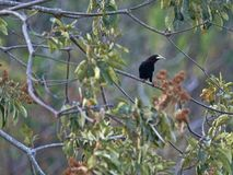 Chestnut-headed Oropendola, Psarocolius wagleri, weaves on trees oval nest, Salvador. The Chestnut-headed Oropendola, Psarocolius wagleri, weaves on trees oval royalty free stock photo