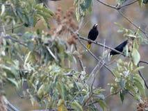 Chestnut-headed Oropendola, Psarocolius wagleri, weaves on trees oval nest, Salvador. The Chestnut-headed Oropendola, Psarocolius wagleri, weaves on trees oval stock image