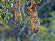 Chestnut-headed Oropendola, Psarocolius wagleri, weaves on trees oval nest, Salvador. The Chestnut-headed Oropendola, Psarocolius wagleri, weaves on trees oval royalty free stock photography