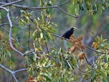 Chestnut-headed Oropendola, Psarocolius wagleri, weaves on trees oval nest, Salvador. The Chestnut-headed Oropendola, Psarocolius wagleri, weaves on trees oval stock photos