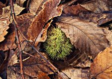Chestnut hedgehog in autumn in Aracena. Chestnut hedgehog among autumn brown leaves in Aracena - Spain Stock Photos