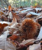 autumn chestnut hedgehog on carpet of dry leaves royalty free stock photo