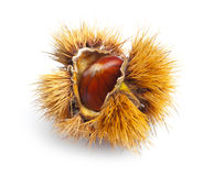 Chestnut hedgehog Stock Image