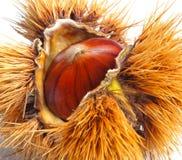 Chestnut hedgehog Stock Photos