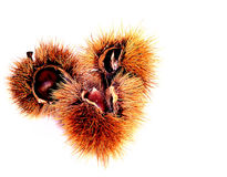 Chestnut, hedgehog, spines , autumn , food. Curly chestnut open with fruit in evidence Royalty Free Stock Image