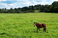 Chestnut Horse. Standing alone in rural setting Royalty Free Stock Image