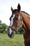 Chestnut Horse. Portrait of a Thoroughbred Chestnut Horse Stock Photo
