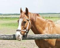 Chestnut horse royalty free stock photography