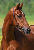 Chestnut horse. Thoroughbred horse in green background stock images