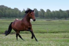 chestnut horse Royaltyfri Foto