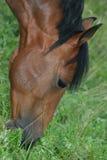 chestnut horse Стоковая Фотография RF