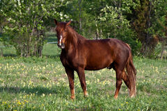 Chestnut horse Stock Photography
