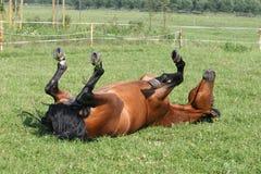chestnut horse 免版税库存图片