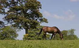 Chestnut Horse 2. A chestnut horse grazing in a summer field Royalty Free Stock Image
