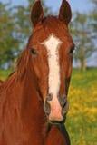 Chestnut horse. With white blaze Stock Photo