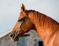 Chestnut horse Royalty Free Stock Image