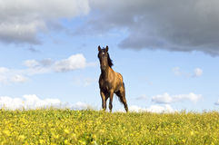 Chestnut horse. Beautiful young chestnut horse standing in a field of yellow flowers Royalty Free Stock Photo