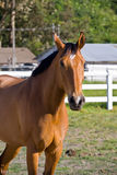 Chestnut horse. On the farm royalty free stock photography