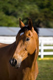 Chestnut horse. On the farm royalty free stock image
