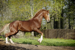 Chestnut horse in action Royalty Free Stock Image