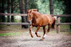 Chestnut horse in action. The chestnut horse in action royalty free stock photos