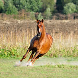 Chestnut horse in action Stock Photos