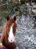 Chestnut Horse Against Snow Stock Images