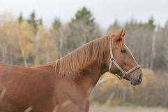 Chestnut horse in autumn field Stock Image