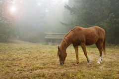 Chestnut Horse and Barn. A horse poses for the camera on a foggy morning in the Pacific Northwest in front of a barn and trees Stock Photography