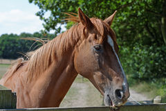 Chestnut Horse Biting a Paddock Fence Stock Photos