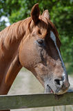 Chestnut Horse Biting a Paddock Fence Stock Photo