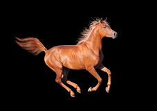 Chestnut horse on black Stock Photography