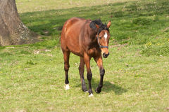 Chestnut horse with black mane approaching Stock Photos