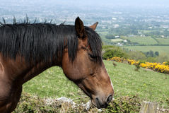Chestnut horse with black mane Stock Photography