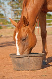 Chestnut horse with a blaze eating his dinner Stock Image