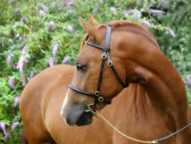 Chestnut Horse In Bridle Headshot Royalty Free Stock Image
