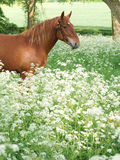 Horse Standing In Wild Flowers Royalty Free Stock Images