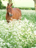 Horse Standing In Wild Flowers Royalty Free Stock Photo