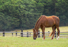 Chestnut horse brown grazing  meadow forest grass Royalty Free Stock Photography