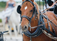 Chestnut horse in carriage Stock Image