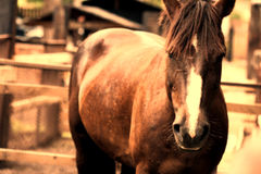 Chestnut horse closeup Royalty Free Stock Images
