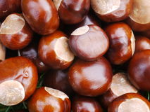 Chestnut horse conker Royalty Free Stock Photo
