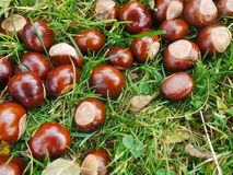 Chestnut horse conker Royalty Free Stock Photography