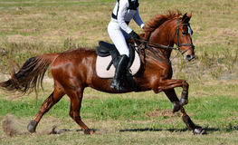 Chestnut horse on cross country course Royalty Free Stock Image